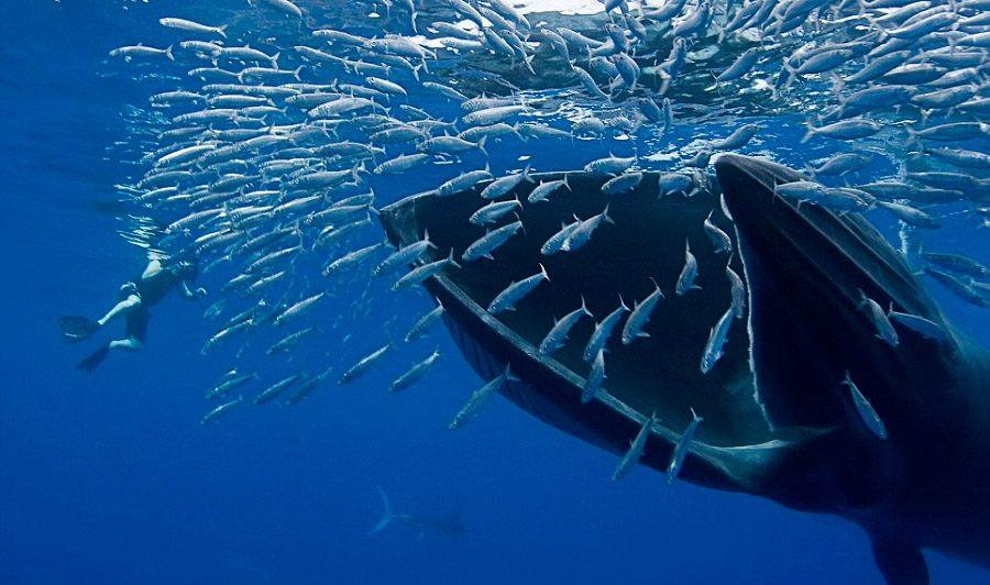 Resultado de imagen de ballena comiendo