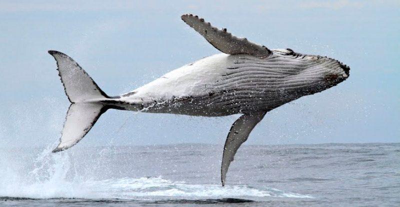 Anatomía de las ballenas