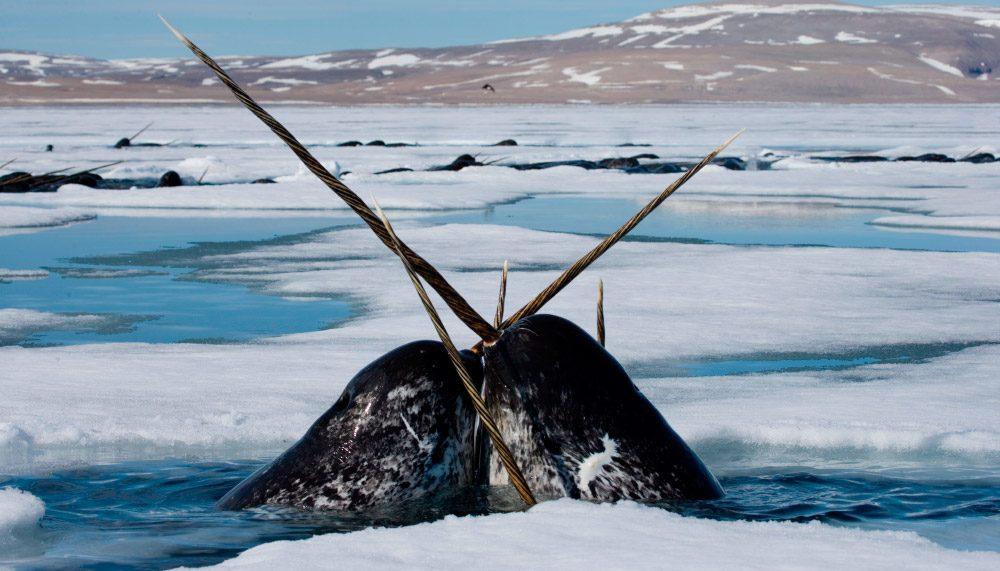 Fotos de ballenas con cuerno