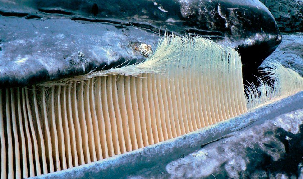 Barbas de las ballenas :: Imágenes y fotos