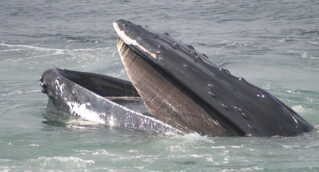 Cabeza de ballena y sus barbas :: Imágenes y fotos