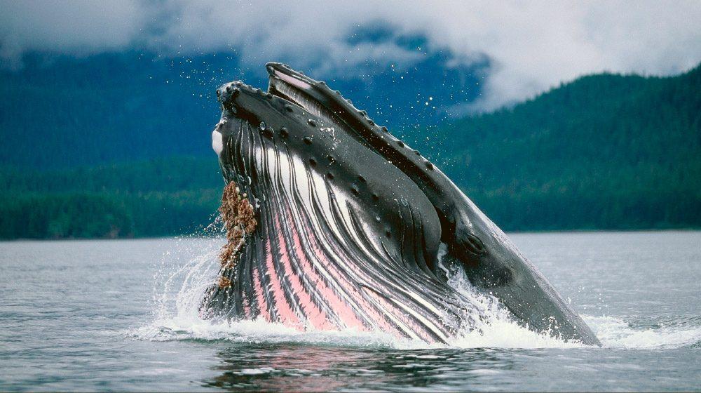 Cuánto viven las ballenas?