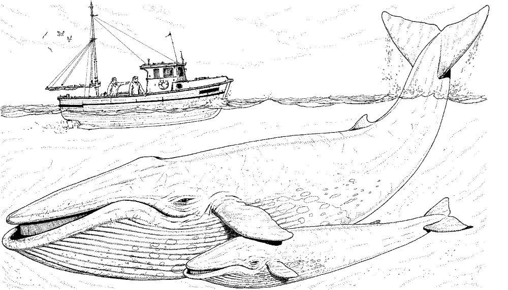 Dibujos de ballenas gigantes :: Imágenes y fotos