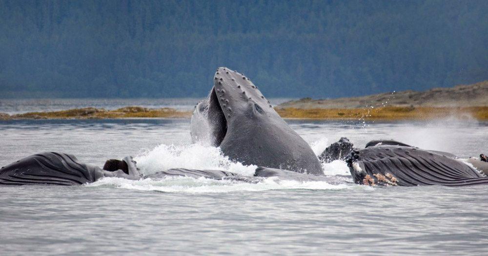 Fotos de la ballena jorobada :: Imágenes y fotos