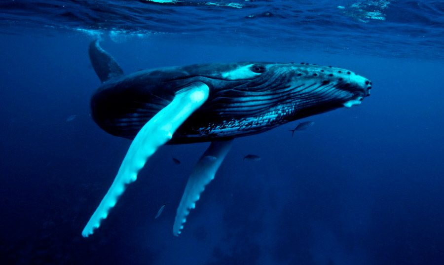 Imagenes de la ballena jorobada :: Imágenes y fotos